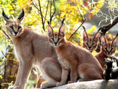 caracal-cat-680x510